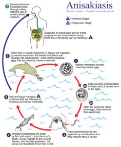 Анизакида цикл