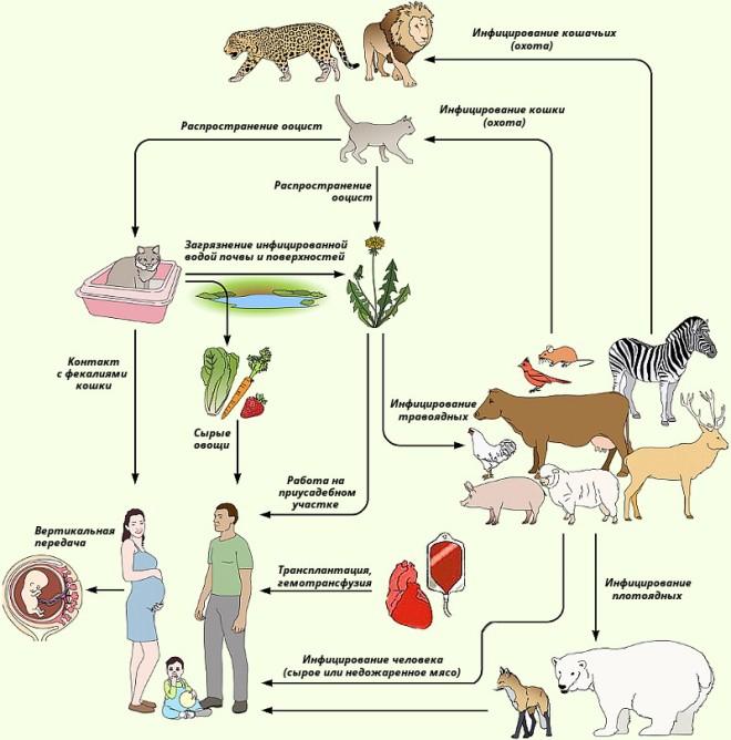 Источники инфицирования человека токсоплазмой