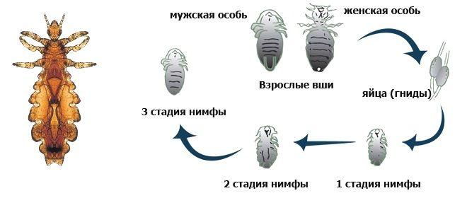 Цикл развития вшей