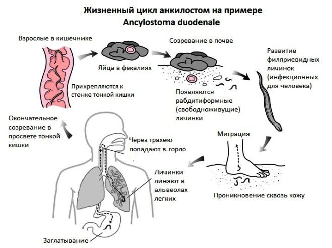жизненный цикл анкилостом