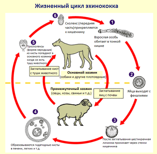 жизненный цикл эхтнококка
