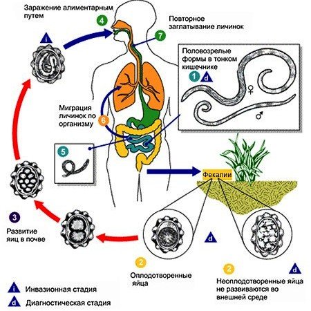 Жизненный цикл человеческой аскариды