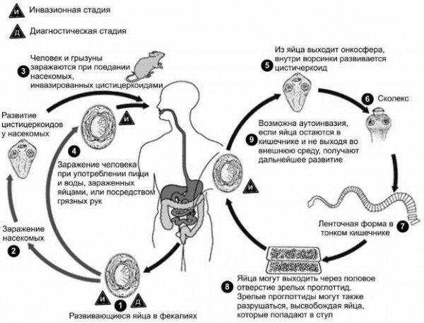 Ленточные черви – самые опасные глисты!