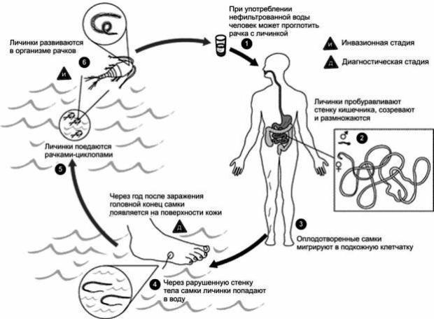 жизненный цикл червя ришта