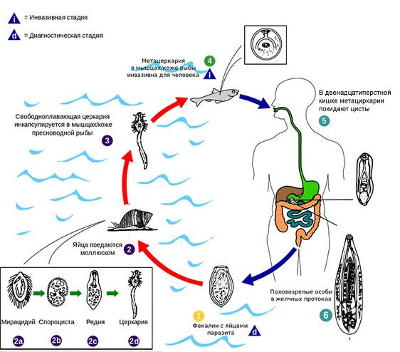 Клонорхоз цикл развития