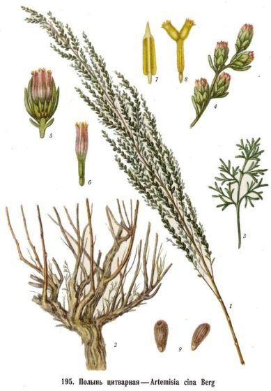 Цитварные семена