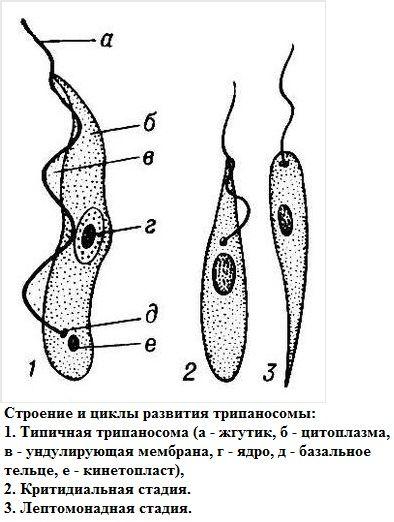 Трипаносома строение
