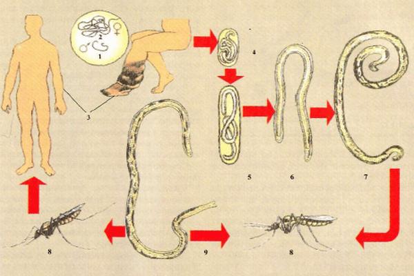 филяриоз жизненный цикл
