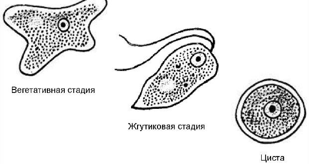 Жизненный цикл неглерии Фоулера