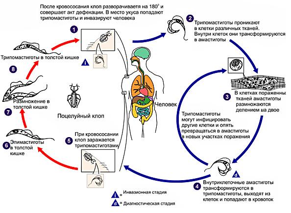 Трипаносома цикл