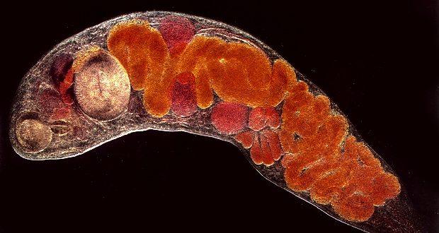 Трематоды - это... Что такое Трематоды?